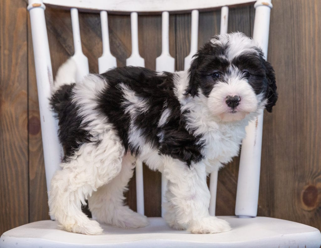 A picture of a Prissy, one of our Mini Sheepadoodles puppies that went to their home in California