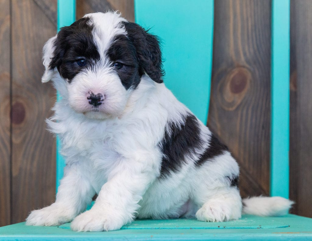 Prissy is an F1 Sheepadoodle that should have  and is currently living in California