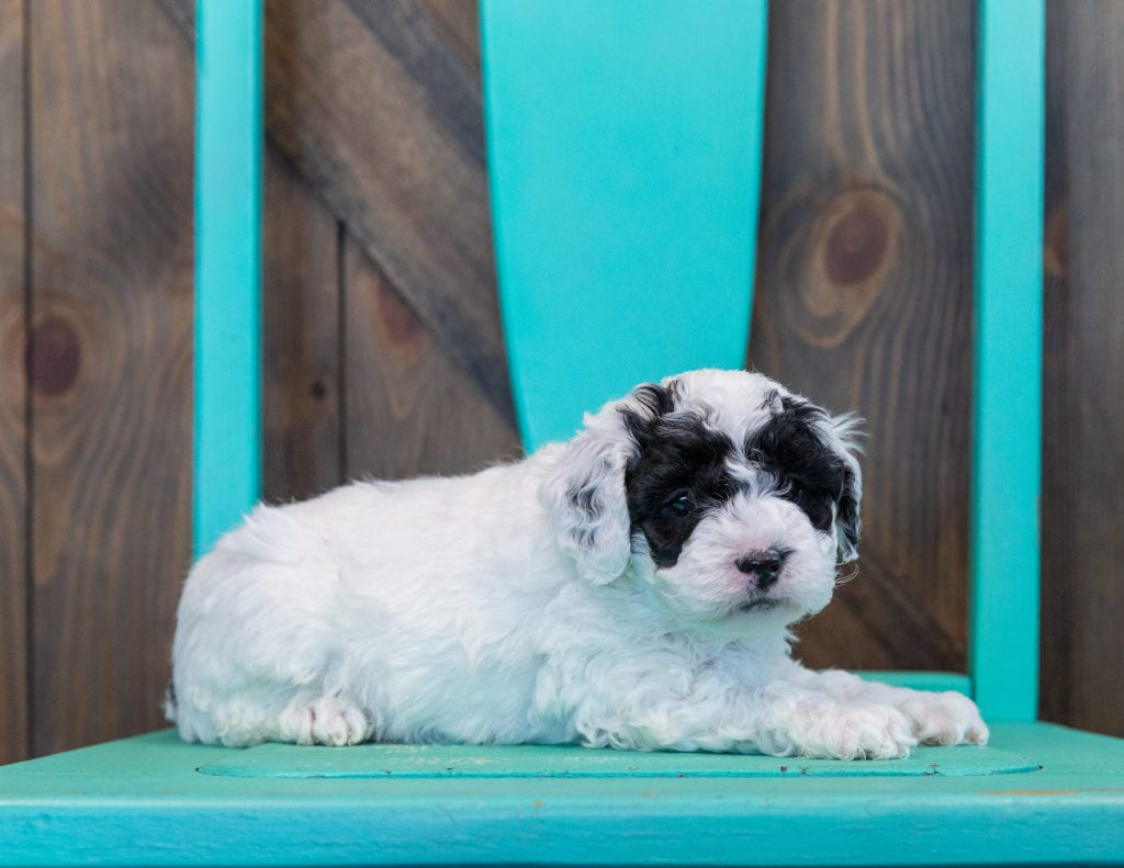 A picture of a Quasi, one of our Mini Sheepadoodles for sale