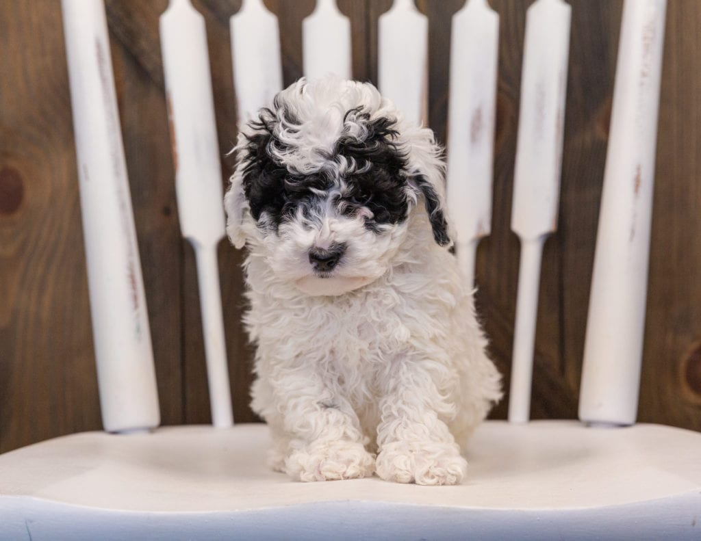 Quasi came from Harlee and Grimm's litter of F1B Sheepadoodles