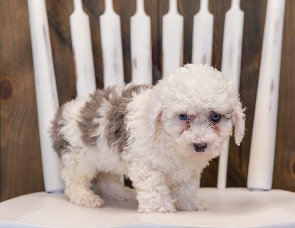 A picture of a Queen, one of our Mini Sheepadoodles puppies that went to their home in California
