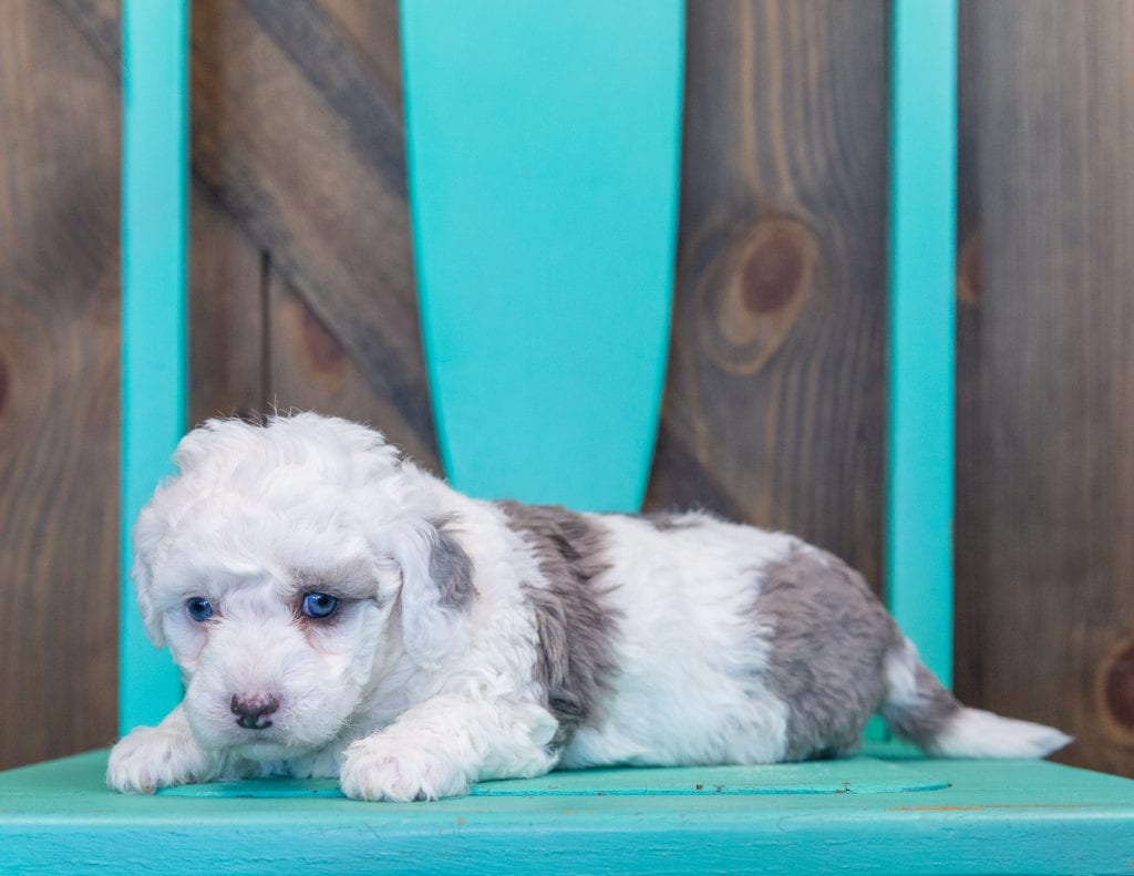Queen is an F1B Sheepadoodle that should have  and is currently living in California