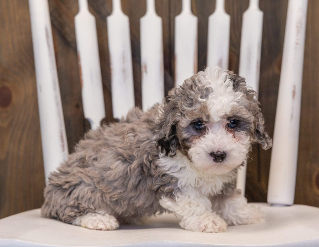 A picture of a Querida, one of our Mini Sheepadoodles puppies that went to their home in California
