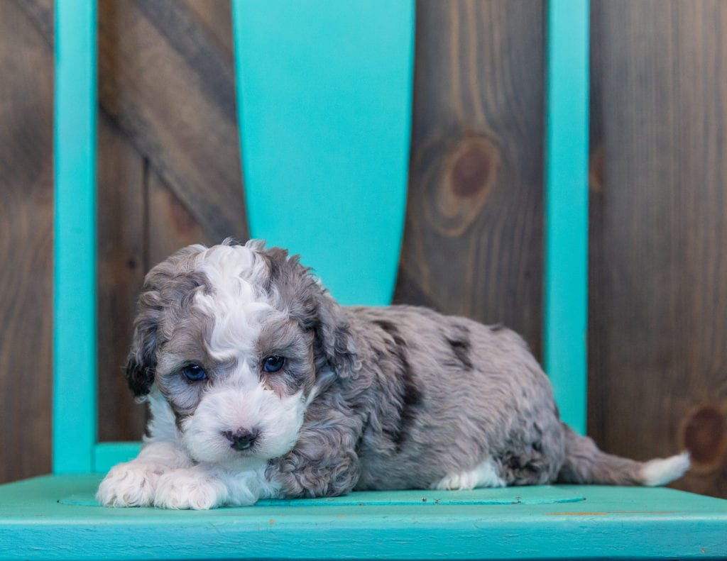Querida is an F1B Sheepadoodle that should have  and is currently living in California