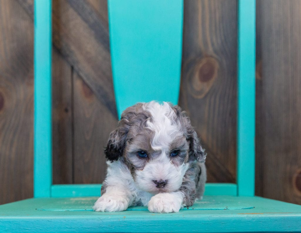 Querida came from Harlee and Grimm's litter of F1B Sheepadoodles