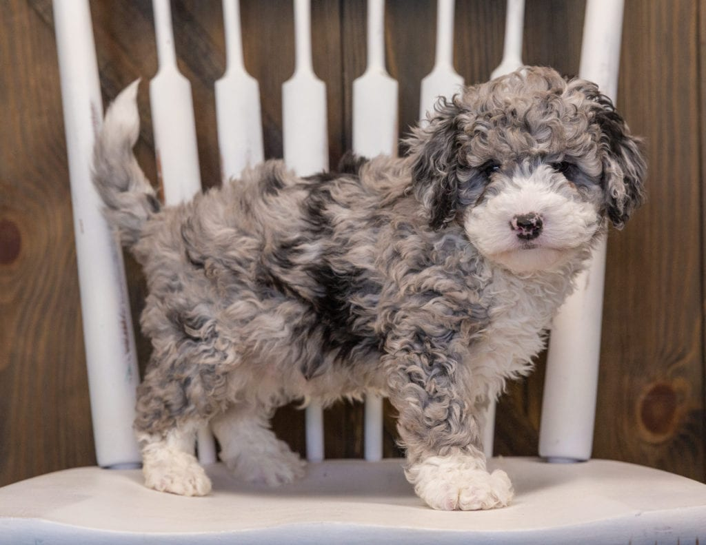 A picture of a Quincy, one of our Mini Sheepadoodles puppies that went to their home in California