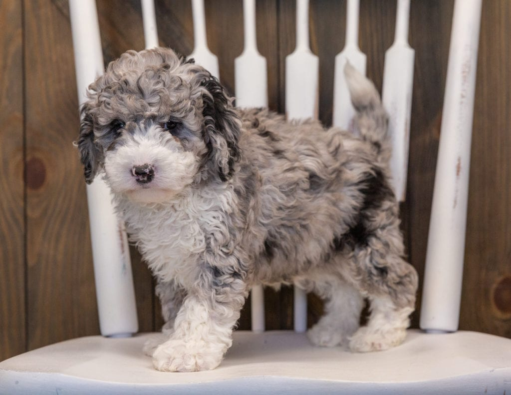 Quincy is an F1B Sheepadoodle that should have  and is currently living in California