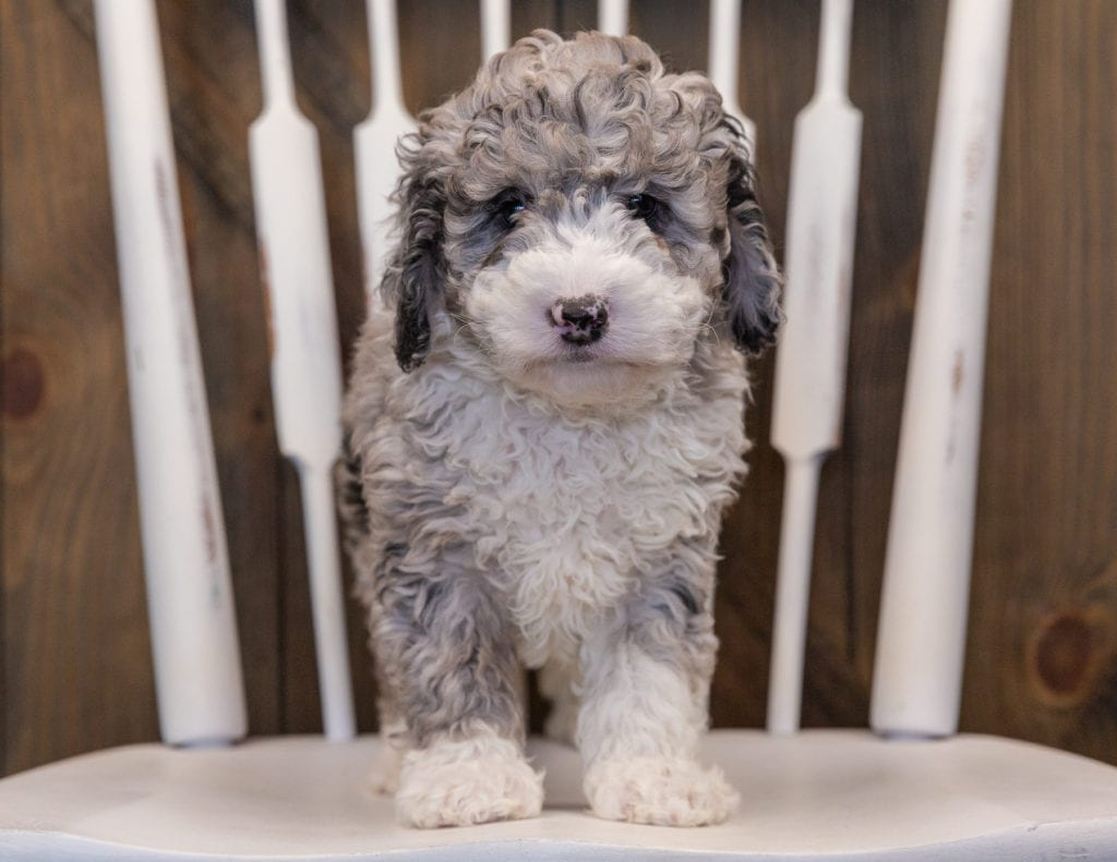 Quincy came from Harlee and Grimm's litter of F1B Sheepadoodles