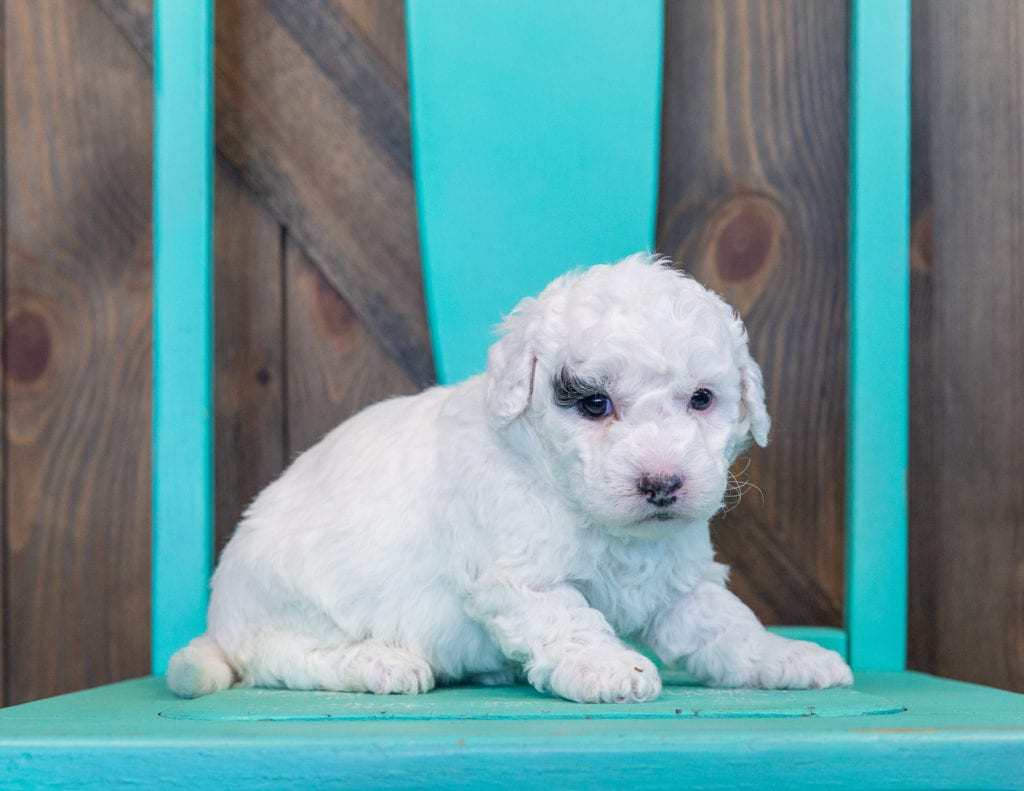 A picture of a Quinta, one of our Mini Sheepadoodles for sale