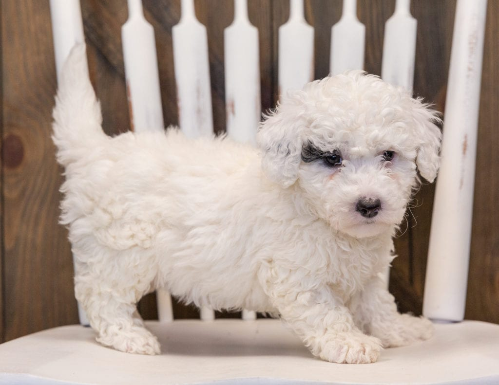 A picture of a Quinta, one of our Mini Sheepadoodles puppies that went to their home in Nebraska