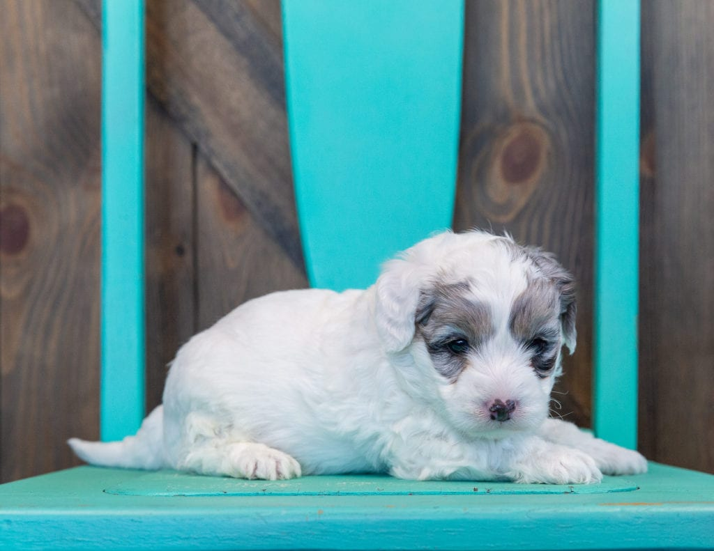 A picture of a Quix, one of our Mini Sheepadoodles puppies that went to their home in Minnesota