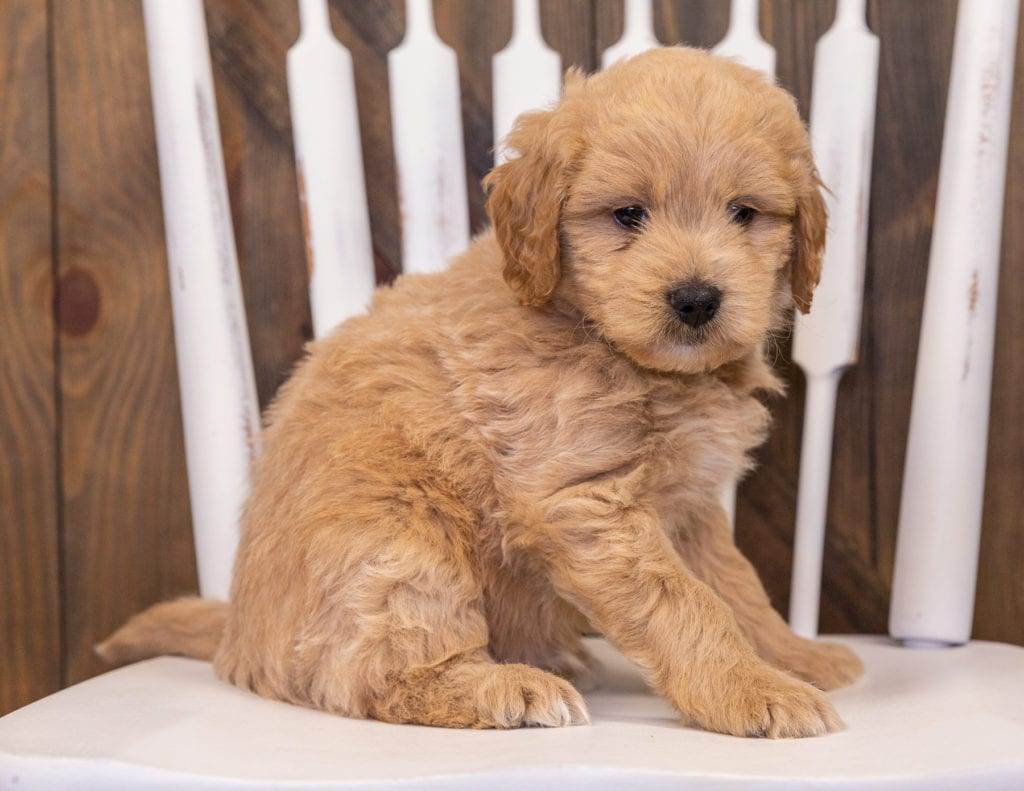A picture of a Radar, one of our Mini Goldendoodles puppies that went to their home in Colorado
