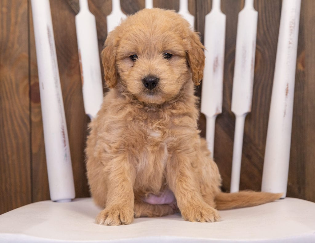 Radar came from Sassy and Taylor's litter of F1 Goldendoodles