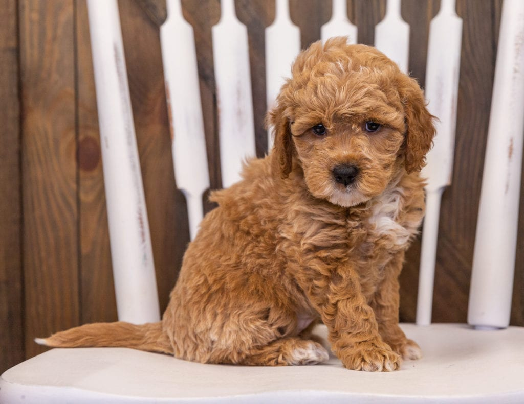 A picture of a Rainy, one of our Mini Goldendoodles puppies that went to their home in Florida