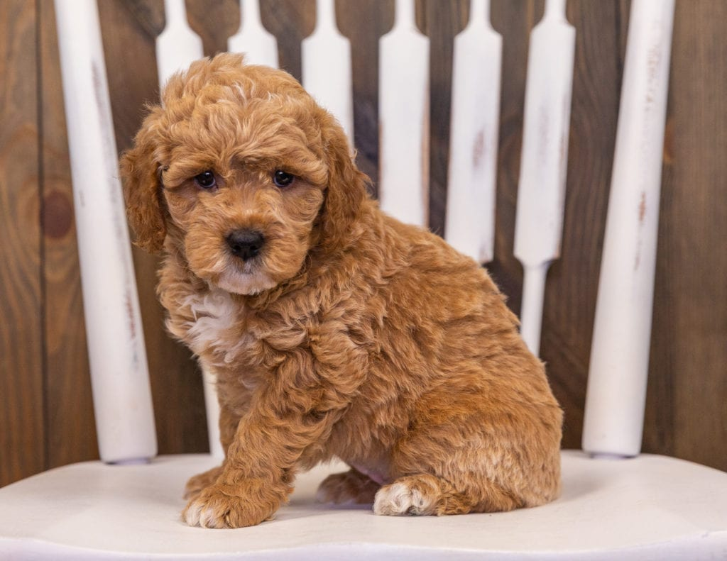 Rainy is an F1 Goldendoodle that should have  and is currently living in Florida
