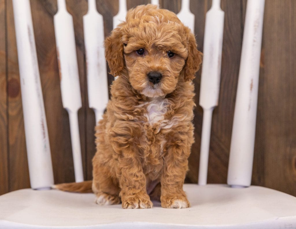 Rainy came from Sassy and Taylor's litter of F1 Goldendoodles