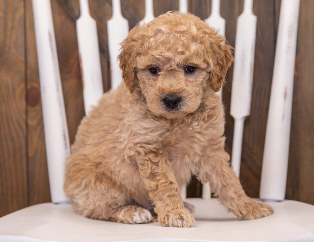 A picture of a Rango, one of our Mini Goldendoodles puppies that went to their home in California