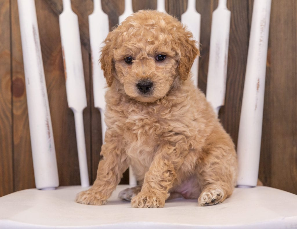 Rango is an F1 Goldendoodle that should have  and is currently living in California
