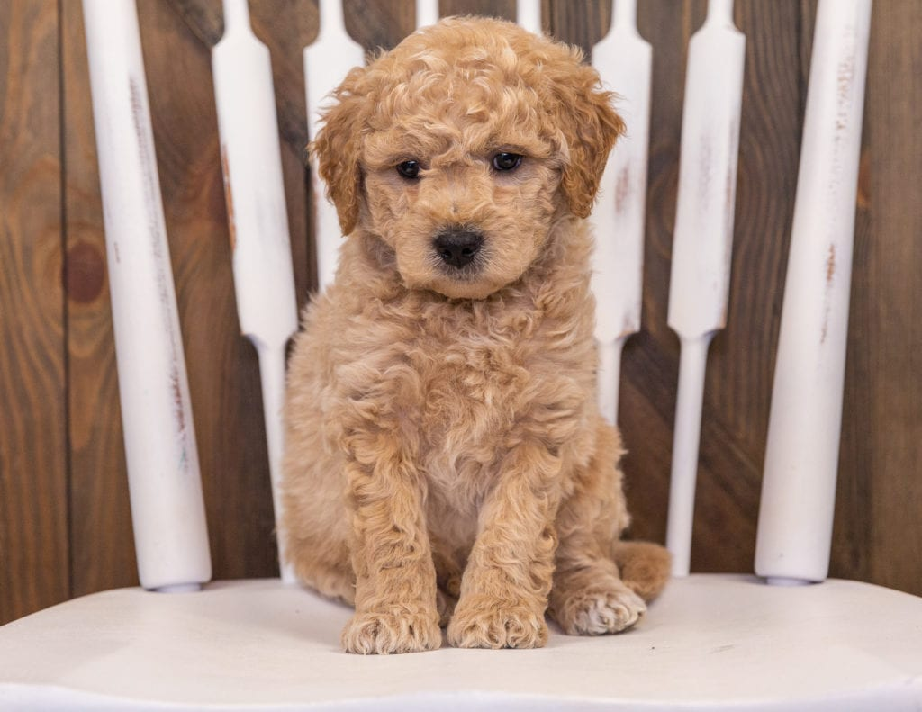 Rango came from Sassy and Taylor's litter of F1 Goldendoodles
