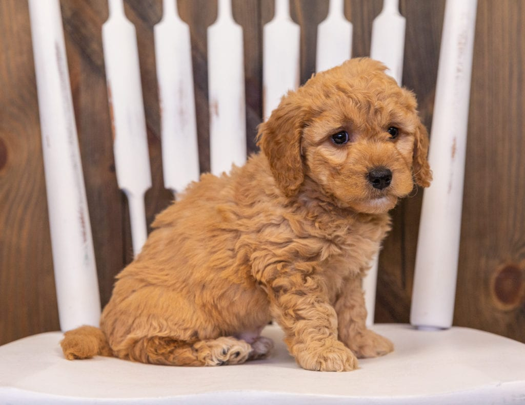 A picture of a Reese, one of our Mini Goldendoodles puppies that went to their home in Missouri