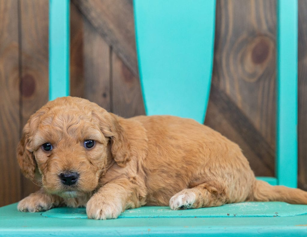 Reese is an F1 Goldendoodle that should have  and is currently living in Missouri