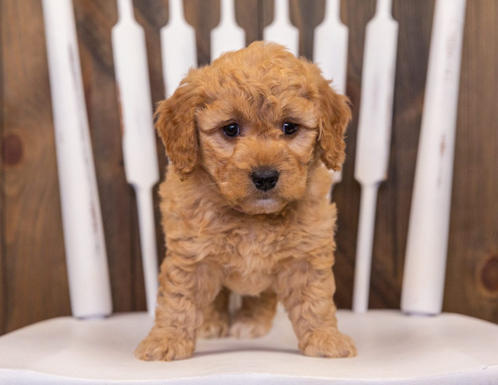 Reese came from Sassy and Taylor's litter of F1 Goldendoodles