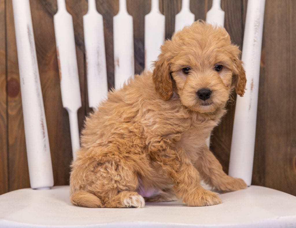 A picture of a Rhett, one of our Mini Goldendoodles puppies that went to their home in California