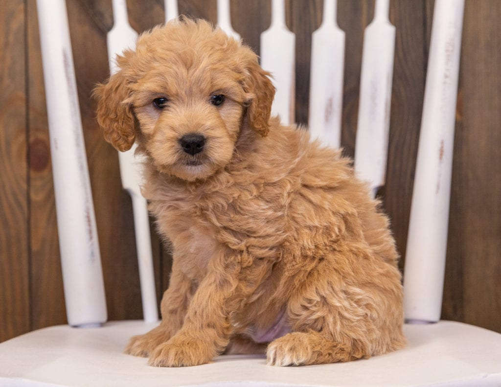 Rhett is an F1 Goldendoodle that should have  and is currently living in California