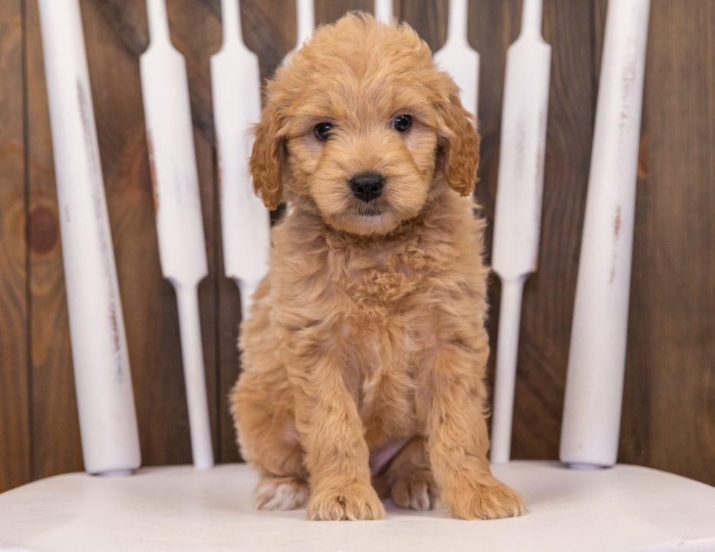 Rhett came from Sassy and Taylor's litter of F1 Goldendoodles