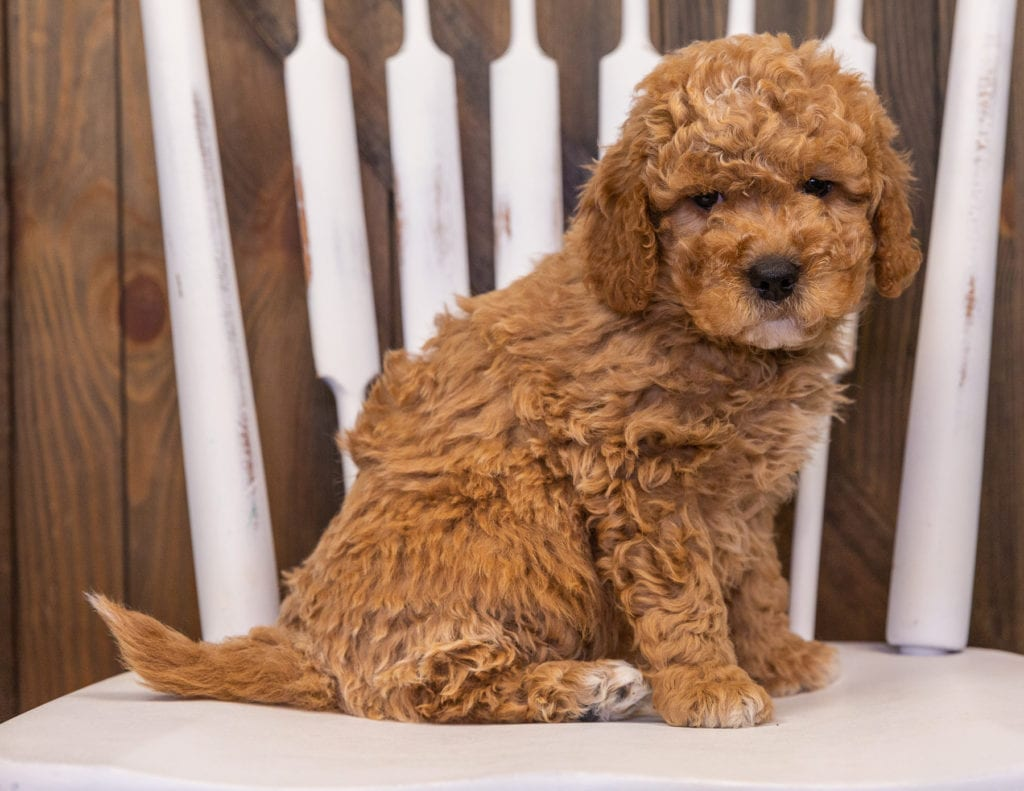 A picture of a Rollo, one of our Mini Goldendoodles puppies that went to their home in California