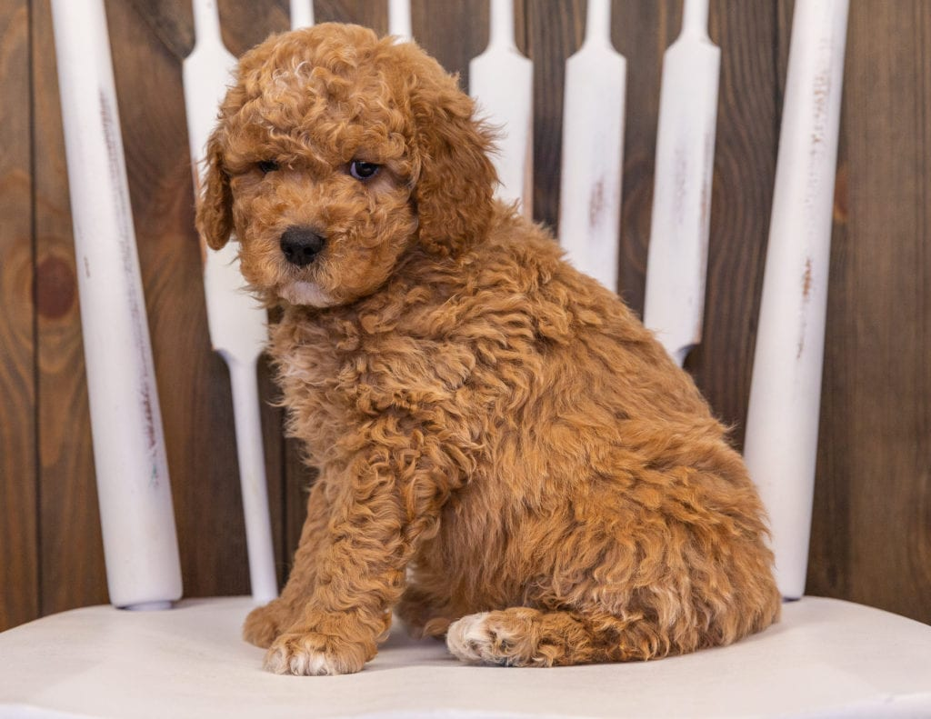 Rollo is an F1 Goldendoodle that should have  and is currently living in California