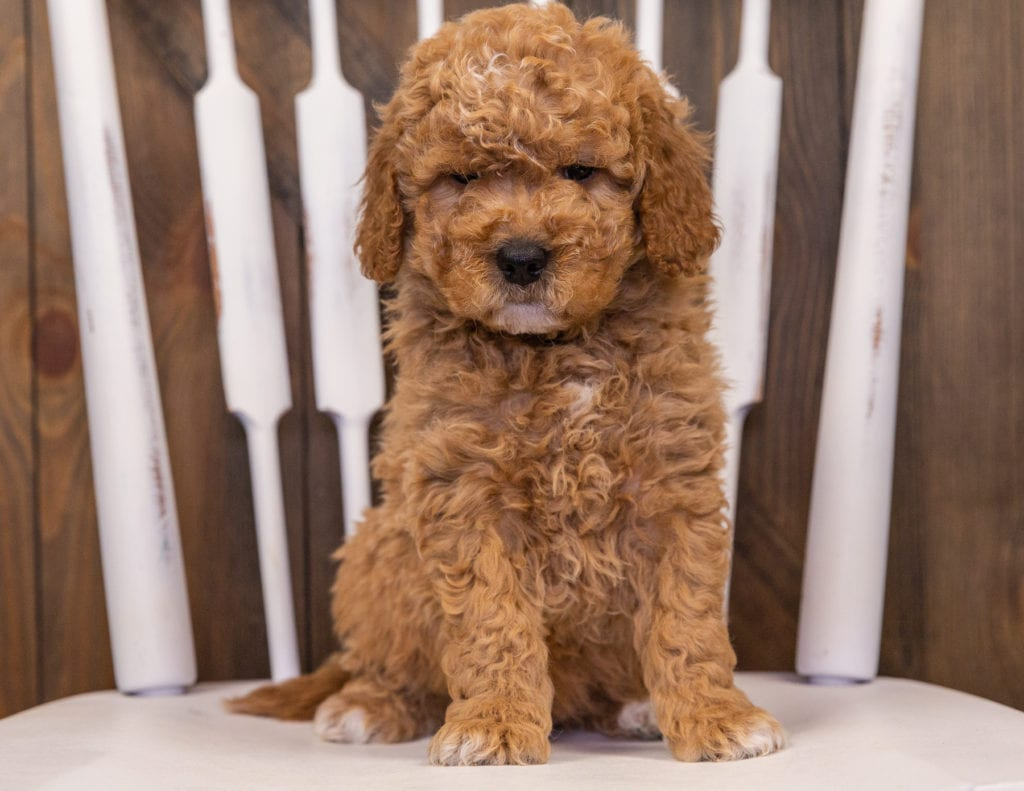 Rollo came from Sassy and Taylor's litter of F1 Goldendoodles