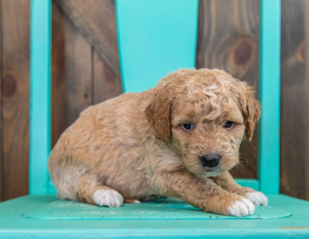 A picture of a Rudy, one of our Mini Goldendoodles puppies that went to their home in California