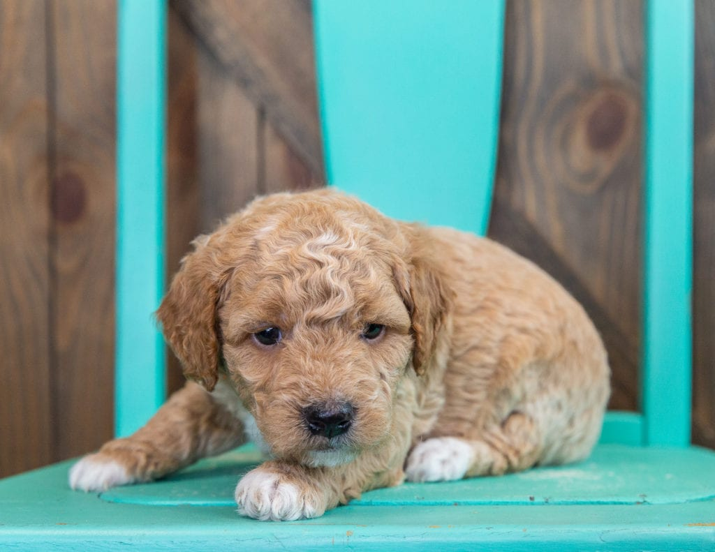 Rudy is an F1 Goldendoodle that should have  and is currently living in California
