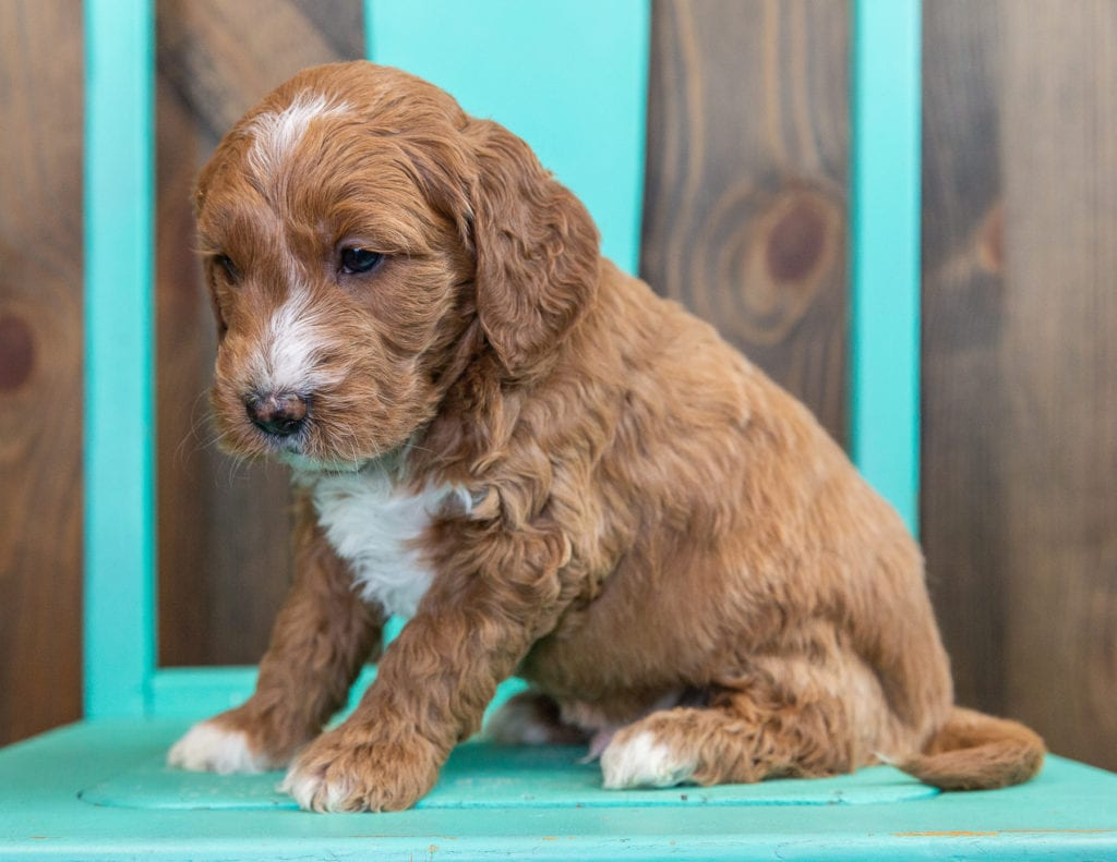 Saber is an F1 Goldendoodle that should have  and is currently living in California