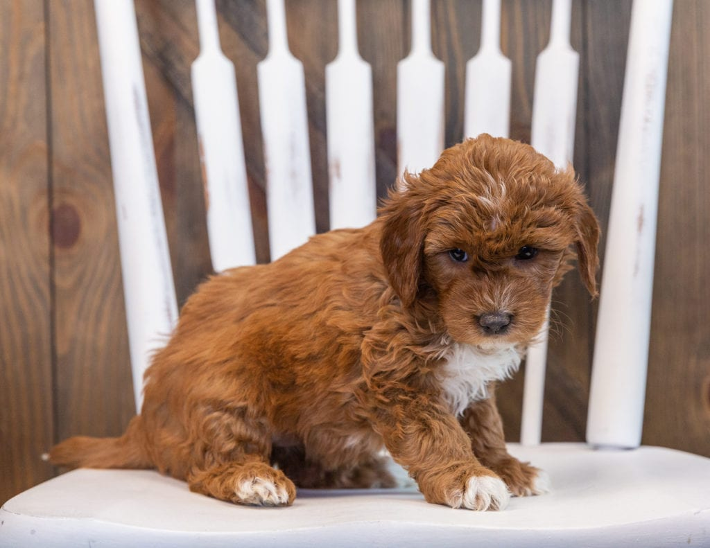 A picture of a Skyy, one of our Mini Goldendoodles puppies that went to their home in Texas