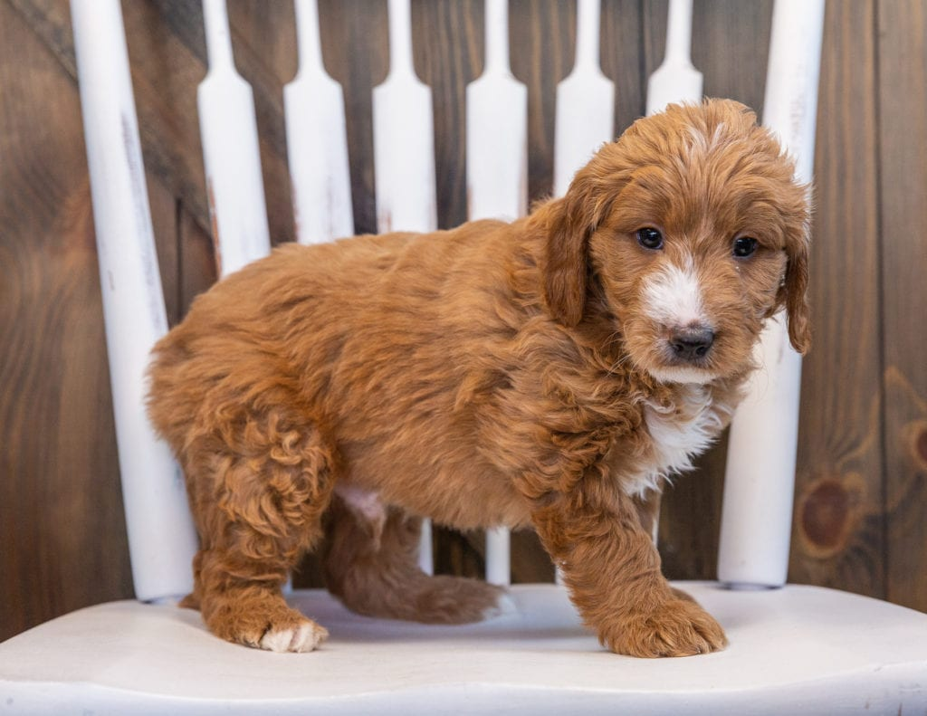 A picture of a Spike, one of our Mini Goldendoodles puppies that went to their home in Minnesota