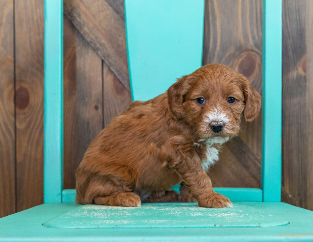 A picture of a Stormy, one of our Mini Goldendoodles puppies that went to their home in Nebraska