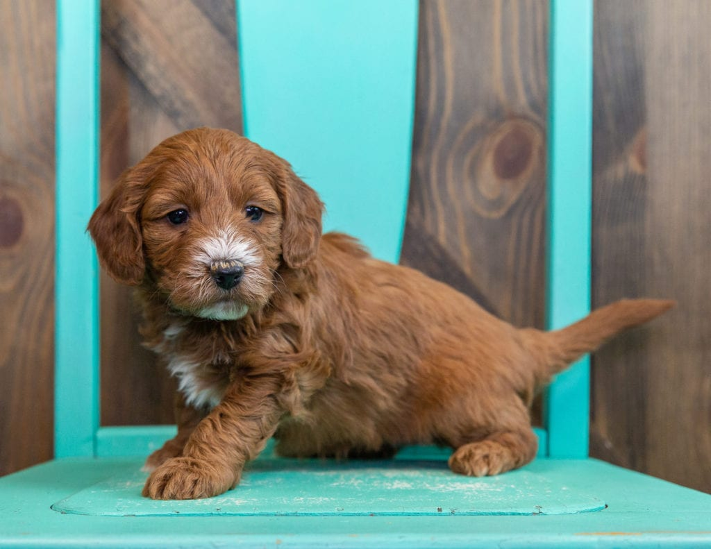 Stormy is an F1 Goldendoodle that should have  and is currently living in Nebraska
