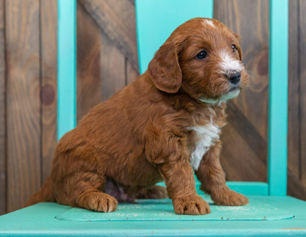 A picture of a Stu, one of our Mini Goldendoodles puppies that went to their home in Texas