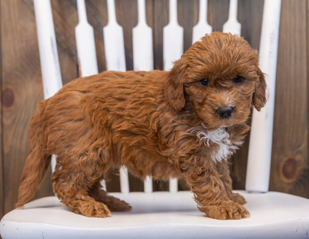 A picture of a Sven, one of our Mini Goldendoodles puppies that went to their home in California