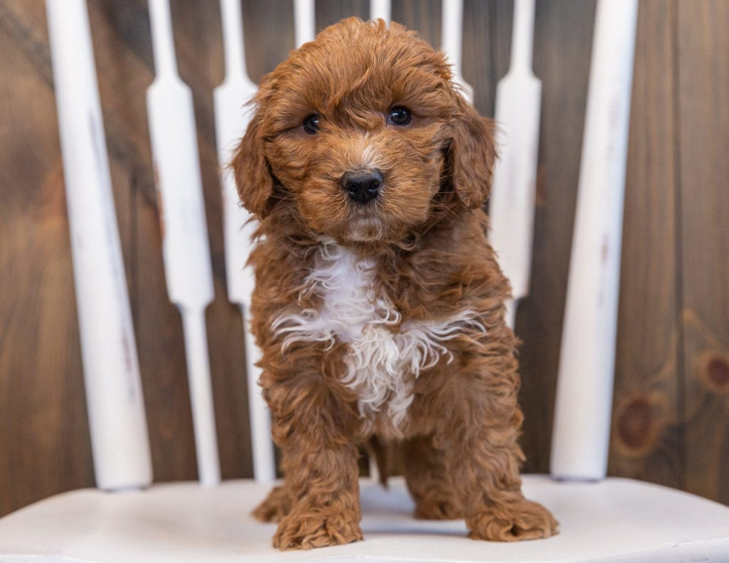 Sven came from Marlee and Milo's litter of F1 Goldendoodles