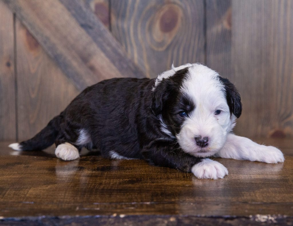 A picture of a Tessa, one of our Mini Sheepadoodles for sale