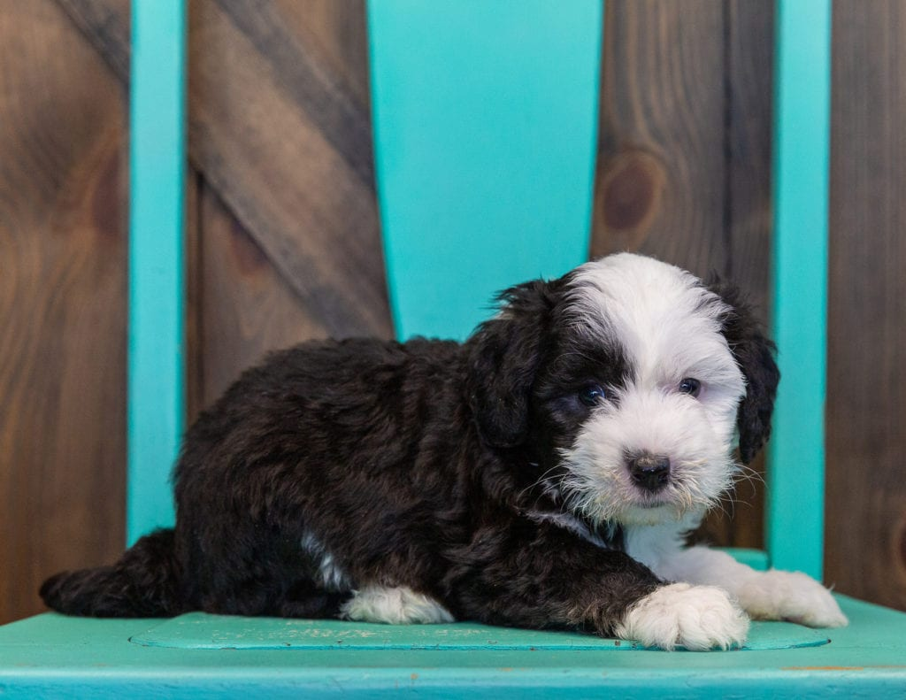 A picture of a Tessa, one of our Mini Sheepadoodles puppies that went to their home in California