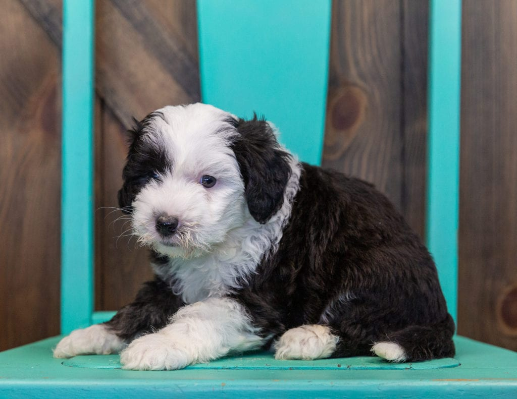 Tessa is an F1 Sheepadoodle that should have  and is currently living in California