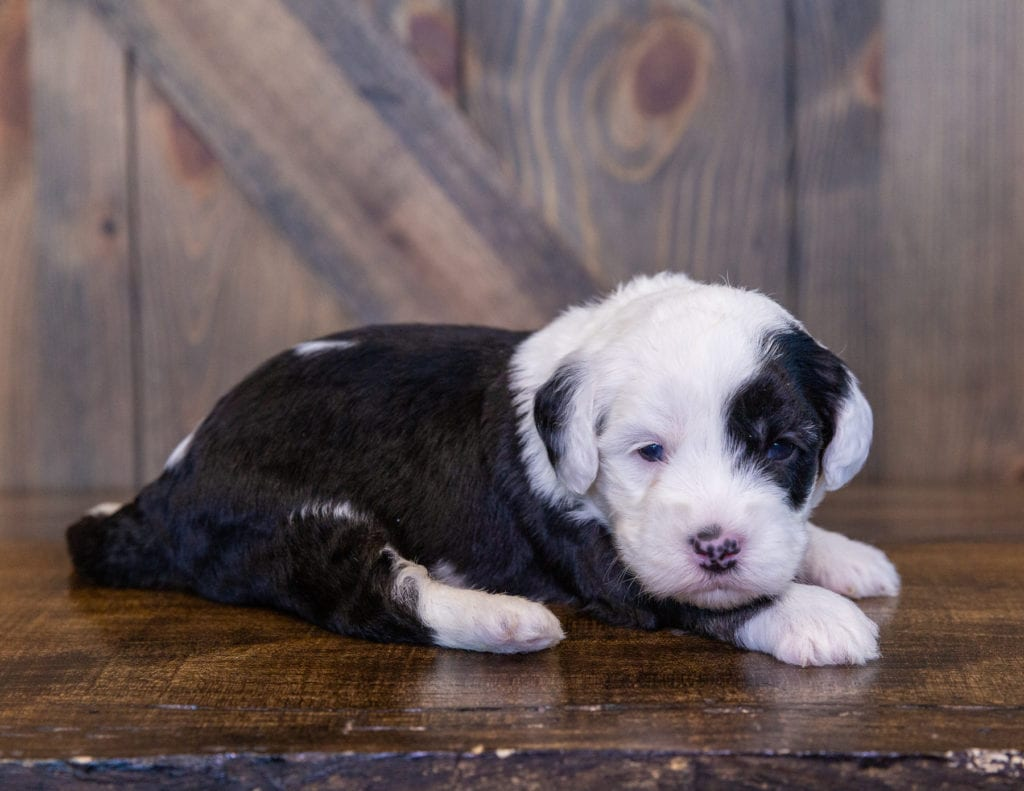 A picture of a Tiana, one of our Mini Sheepadoodles for sale