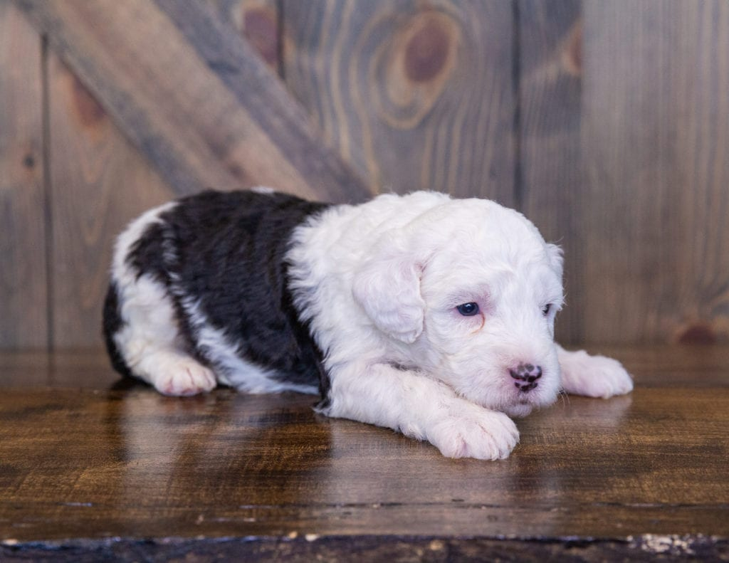 A picture of a Tiara, one of our Mini Sheepadoodles for sale