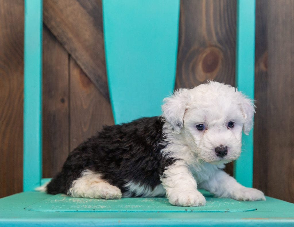 A picture of a Tibet, one of our Mini Sheepadoodles for sale