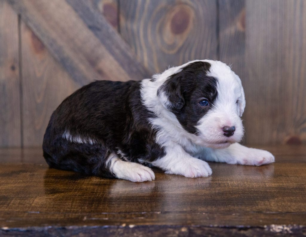 A picture of a Tilly, one of our Mini Sheepadoodles for sale