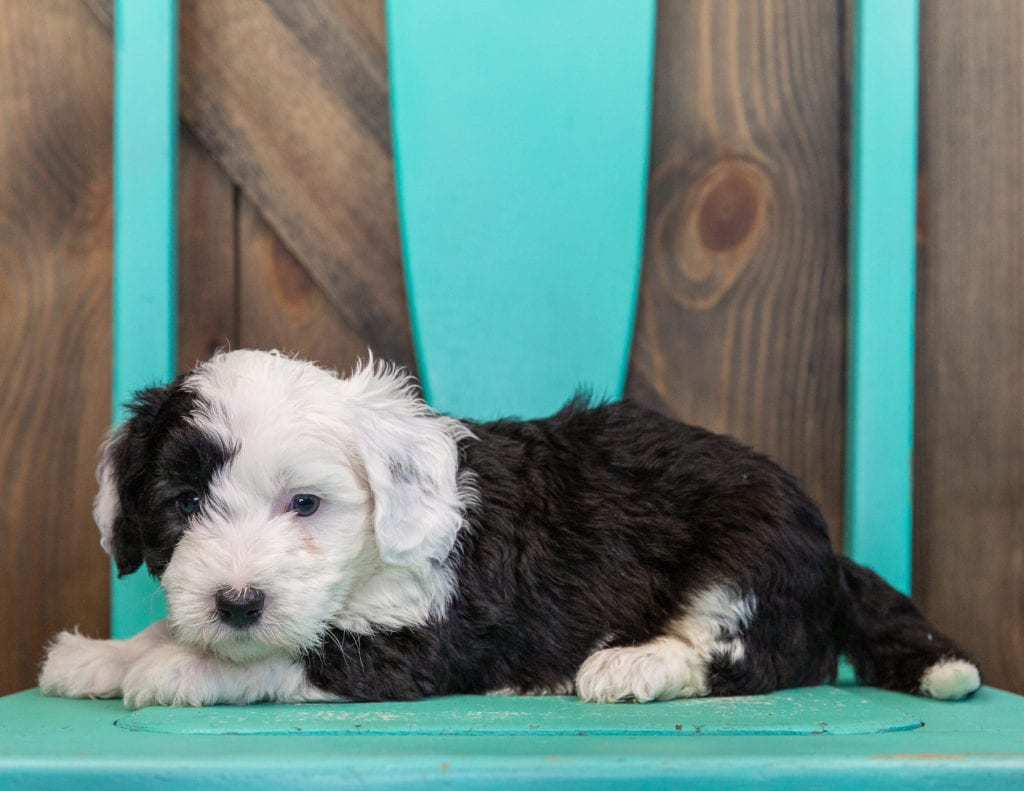 Tilly is an F1 Sheepadoodle.